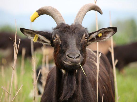 Les chèvres du Bruch